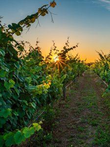 Sanctuary Vineyards Jarvisburg NC